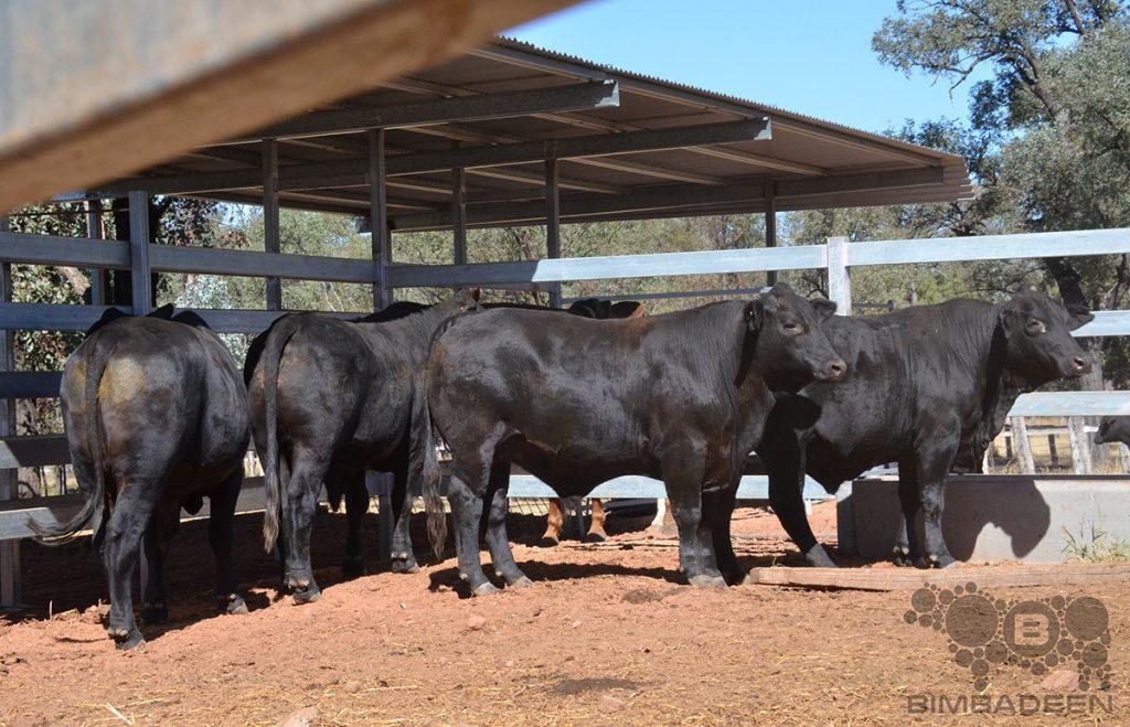 steers_9778 f