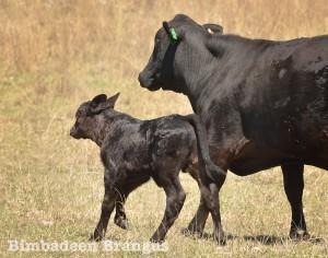 cows_2056
