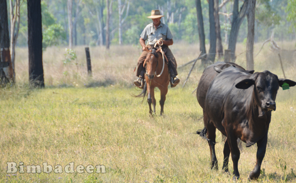 cattle_4650